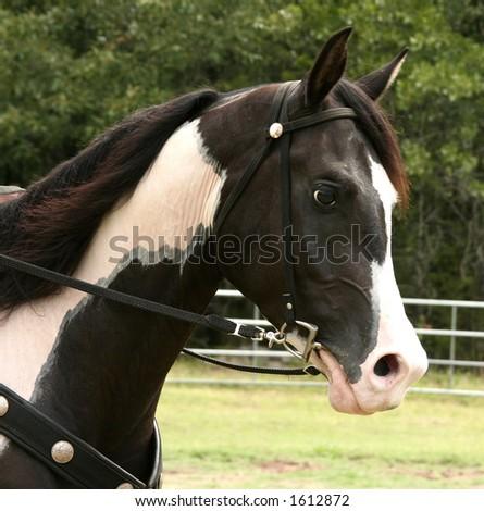 Pinto Horse Head - stock photo