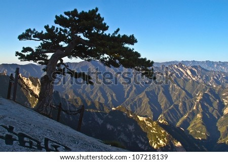 Pinus armandii(Chinese name Huashansong) on the Huashan mountain. Huashan Mountain is one of famous Mountains in China. It is located in SHanxi province CHina, 120 kilometers away from Xian.