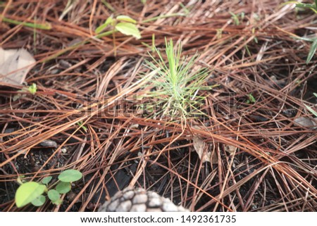 Pinus caribaea Morelet is a large perennial plant with a height of 45 meters, with a straight trunk and a small branch.  Have a very natural branching