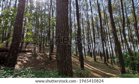 Pinus forest park Pengger yogyakarta indonesia Stok fotoğraf ©