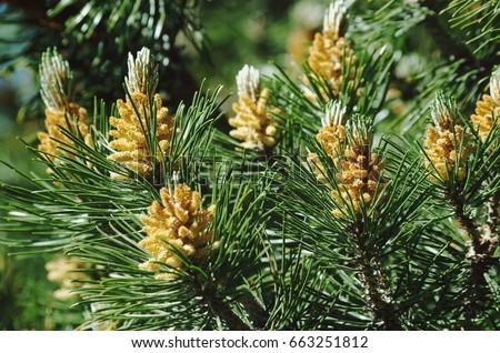 Pinus mugo - It is also known as creeping pine, dwarf mountain pine, mugo pine. #663251812