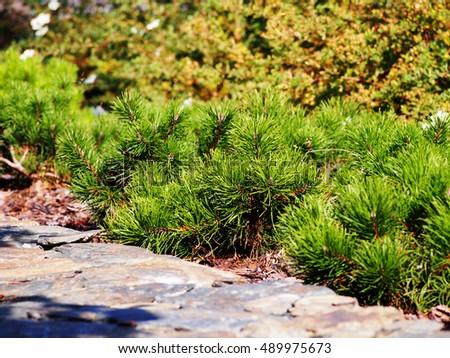 Pinus mugo var. pumilio - creeping pine, dwarf mountain-pine