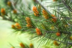 Pinus radiata blooming in forest springtime.