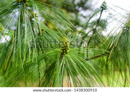 Pinus strobus, commonly denominated the eastern white pine,  Weymouth pine, and soft pine is a large pine native to eastern North America. #1438300910