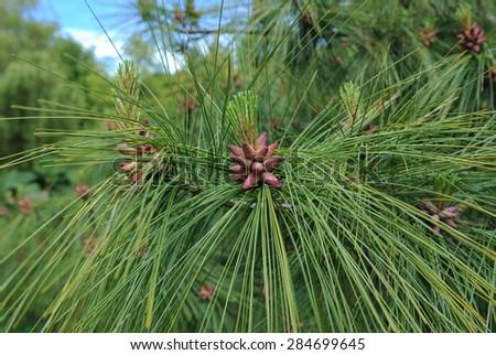 Pinus Wallichiana (Bhutan Pine), Devon, England, UK