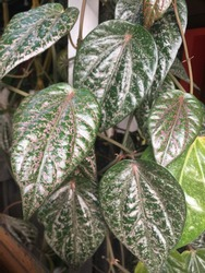 Piper ornatum, known in Indonesia as Red Sirih, is a vine that people plant for its medicinal properties and also the beauty of its leaves.