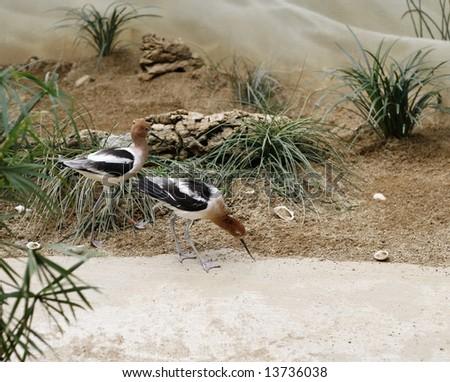 Piping plover birds