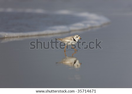 Piping Plover (Charadrius melodus), female on a sandy beach.