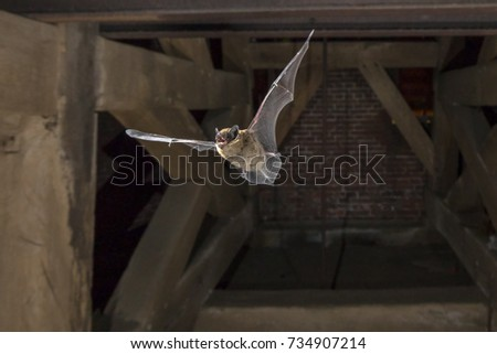 Pipistrelle bat (Pipistrellus pipistrellus) flying in church tower