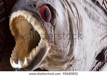 Piranha fish close up with mouth wide open