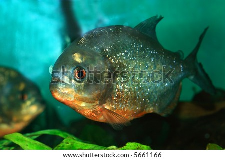 piranha fish  in natural environment