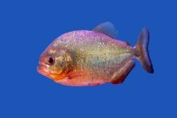 Piranha fish in the blue background
