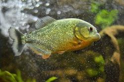 Piranha fish swims under water.