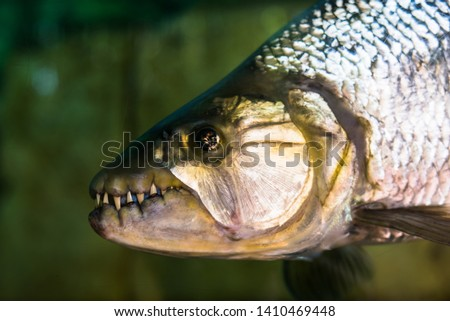 Piranha fish with toothed,Sharp-toothed fish.