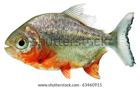 Piranha in front of a white background