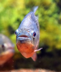 Piranha in water