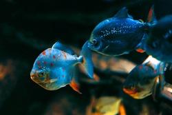 Pirania in deep water . Fantastic underwater world
