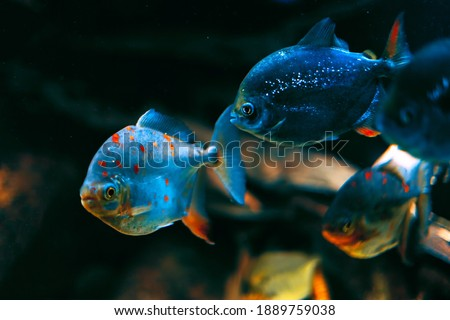 Pirania in deep water . Fantastic underwater world  stock photo