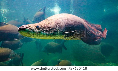 Pirarucu (Arapaima gigas) one largest freshwater fish and river lakes in Brazil