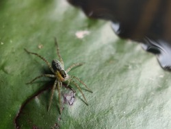 Piratais a genus ofwolf spiders(family Lycosidae), commonly known as pirate wolf spiders. Selective focus.