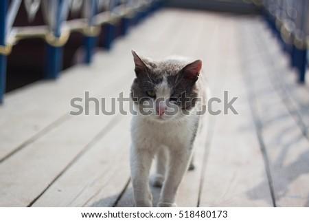 pirate cat #518480173