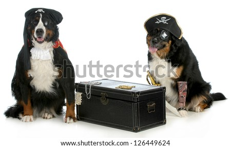 pirates - two bernese mountain dogs dressed up like pirates with chest full of treasures isolated on white background