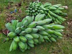 Pisang Raja or Plantains are bananas that are very well known for their sweet taste and are commonly used to make cakes. Famous banana in Indonesia