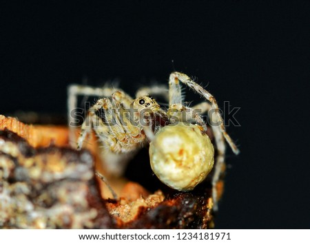 Pisauridae spider carrying its egg sac with chelicerae and pedipalps #1234181971