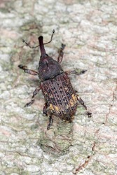 Pissodes piceae - a species of beetle from the weevil family - Curculionidae. The larvae of this insect develop under the bark of fir trees.