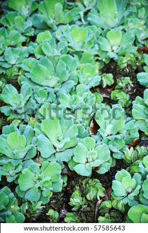 Pistia  (Water cabbage) -  detail