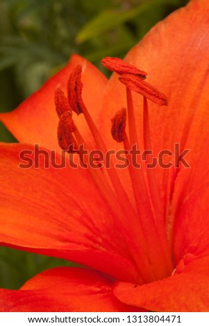Pistil and stamen of lily #1313804471