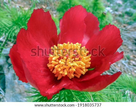 Pistil and yellow stamens of red peony, close-up Stock photo ©