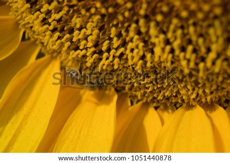 Pistils and stamens of Sunflower; background; texture #1051440878