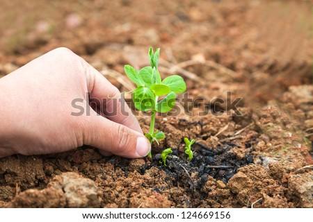 pisum sapling in the garden #124669156