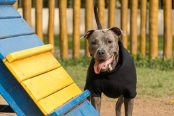 Pit bull dog in a black sweatshirt playing in the park on a cold day. Pit bull in dog park with ramp, green grass and wooden fence.