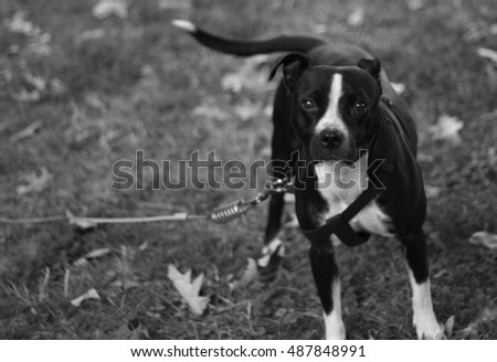 pit Bull dog in harness looking at camera Black and White #487848991