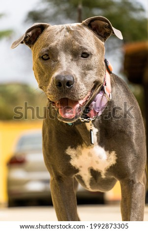 Pit bull dog in the backyard of the house. Pitbull blue nose with honey colored eyes. House with yellow wall and garden.
