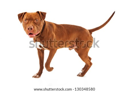 Pit Bull dog walking against a white background