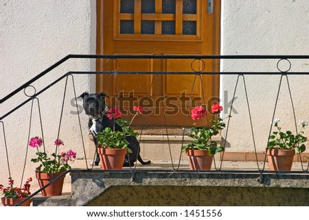 Pit bull pup watching me from his geranium filled terrace.