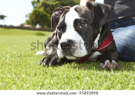 Pit Bull puppy laying on the ground with red leash