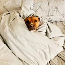 Pit Bull Shepherd Dog Wrapped in Blanket in Bed