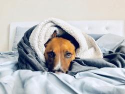 Pit Bull Shepherd Dog Wrapped in Blanket in Bed Cozy Portrait