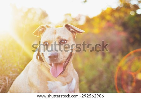 Pit bull sitting with sun beam shining on it\'s face