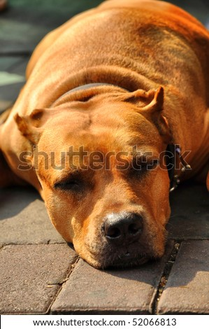 Pit Bull Terrier  Flop Brown Head