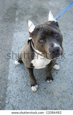 Pit Bull Terrier With Cropped Ears Stock Photo 12086482 : Shutterstock