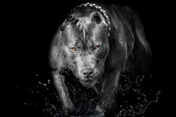 Pitbull Bully Dog black Background yellow eyes