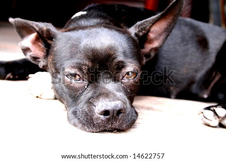 Pitbull Chihuahua Mix Pug Stock Photo 14622757 : Shutterstock