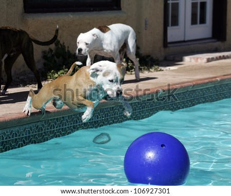 Dog Diving Into a Pool Pitbull Dog Diving Into