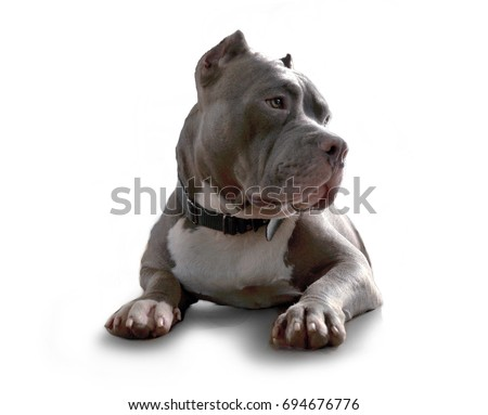 pitbull dog isolated