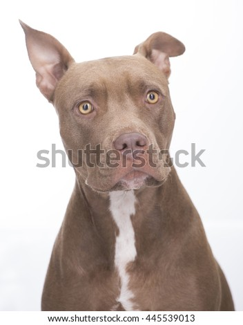Pitbull dog standing on white background